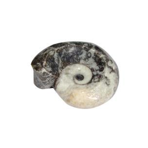 Satyamani Energized Ammonite Stone Antique For Reiki & Meditation (Pack of 1pc)