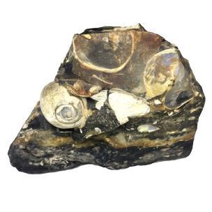 Satyamani Natural Turritella Agate Elimia Antique Snail Shell Rough Mineral Specimen